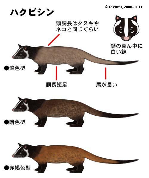 タヌキの画像 p1_13