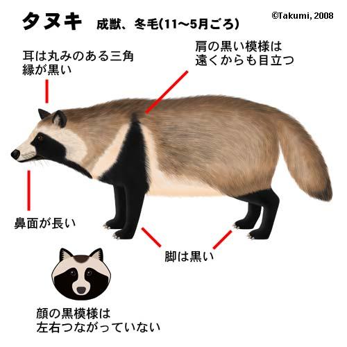 タヌキの画像 p1_25